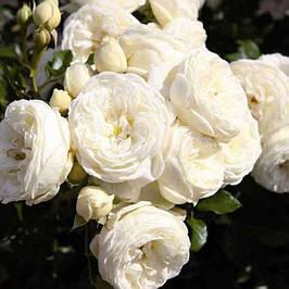 Саджанці кущових троянд