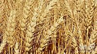 Пшеница озимая  Колониа  (Limagrain)