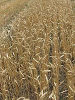 Пшеница озимая Фабиус Элита  (SAATBAU)