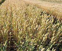 Пшеница озимая Кубус (KWS SAAT AG)