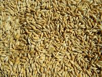 Семена озимого ячменя Фантом