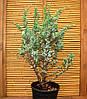 Можжевельник Мейери- Juniperus Meyeri