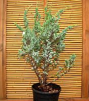 Можжевельник Мейери- Juniperus Meyeri, фото 1