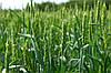 Семена озимой пшеницы Ветеран(1 репродукция)