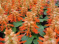 """Семена  цветов Сальвия низкорослая Редди лососевая, 100 шт, """"Садыба центр"""",  Украина"""