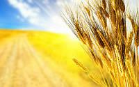 Всё чего вы не знали о пшенице: какая бывает пшеница ее классы, виды и типы зерновых