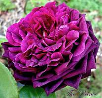Троянда англійська Принц