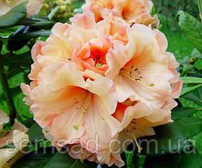"""Рододендрон """" Лачсголд """" ( саженцы 3 года ЗКС ) (Rhododendron Lachsgold), фото 2"""