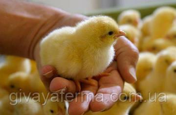 Какие витамины давать цыплятам в первые дни?