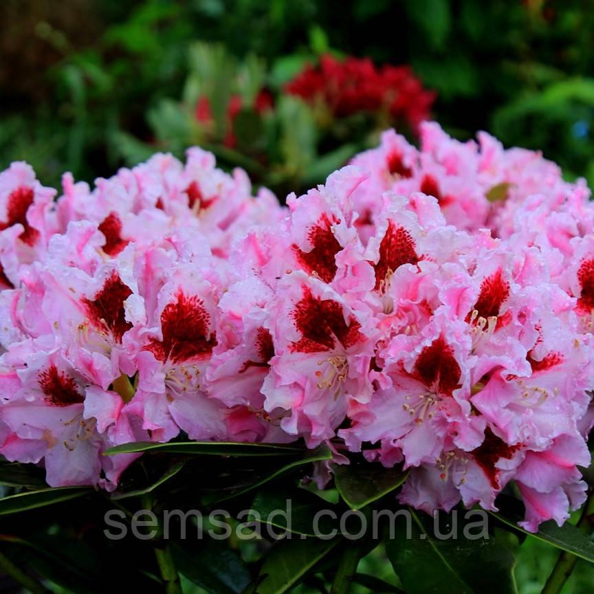 """Рододендрон """" Королева Ядвига """" ( саженцы  3  года ЗКС ) Rhododendron Krolowa Jadwiga"""