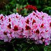 """Рододендрон """" Королева Ядвига """" ( саженцы  2 года ЗКС ) Rhododendron Krolowa Jadwiga"""