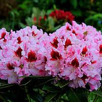 """Рододендрон """" Королева Ядвига """" ( саженец   2 года ЗКС ) Rhododendron Krolowa Jadwiga"""