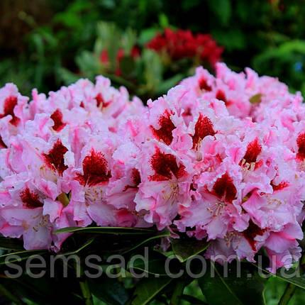 """Рододендрон """" Королева Ядвига """" ( саженцы  2 года ЗКС ) Rhododendron Krolowa Jadwiga , фото 2"""