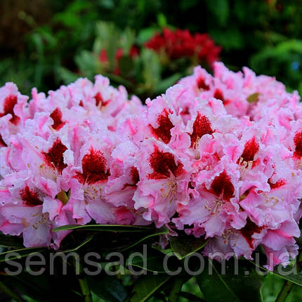 """Рододендрон """" Королева Ядвига """" ( саженцы 2 года ЗКС ) Rhododendron Krolowa Jadwiga, фото 2"""