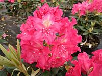 "Рододендрон "" Ян III Собеский ""  ( саженец 2года ЗКС ) Rhododendron Jan III Sobieski"