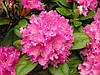 """Рододендрон """"Королева Бона """" ( саженцы 2 года ЗКС ) Rhododendron Krolova Bona"""