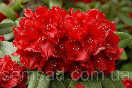 "Рододендрон "" Францеска "" ( саженцы 2 года ЗКС )  Rhododendron Francesca, фото 2"