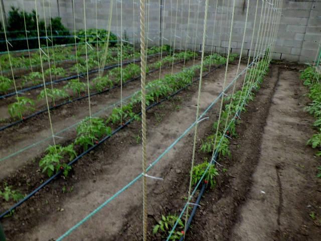 Стойки из стеклопластиковой арматуры 7 мм. для подвязок кустов помидор.