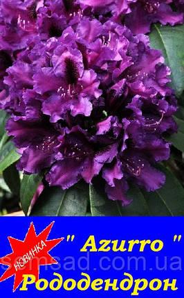 """Рододендрон """" Азурро """" ( саженцы 2 года ЗКС )  Rhododendron   Azurro, фото 2"""