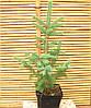 Ель колючая(голубая)-Picea pungens f. glauka