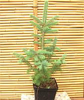 Ель колючая(голубая)-Picea pungens f. glauka, фото 1