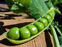 Горох – одна из самых перспективных зернобобовых культур