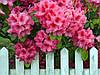 "Рододендрон "" Розеум Элеганс "" ( саженцы 2 года ЗКС )  Rhododendron 'Roseum Elegans"