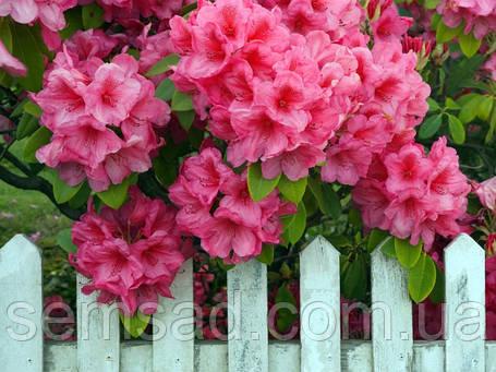 "Рододендрон "" Розеум Элеганс "" ( саженцы 2 года ЗКС )  Rhododendron 'Roseum Elegans, фото 2"