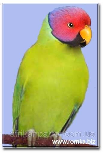 Сливоголовый папуга
