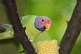 Сливоголовый попугай, фото 2