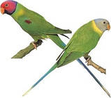 Сливоголовый папуга, фото 3