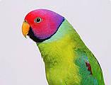 Сливоголовый попугай, фото 4