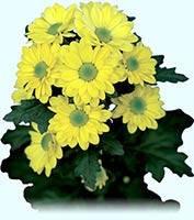 Bacardi_yellow