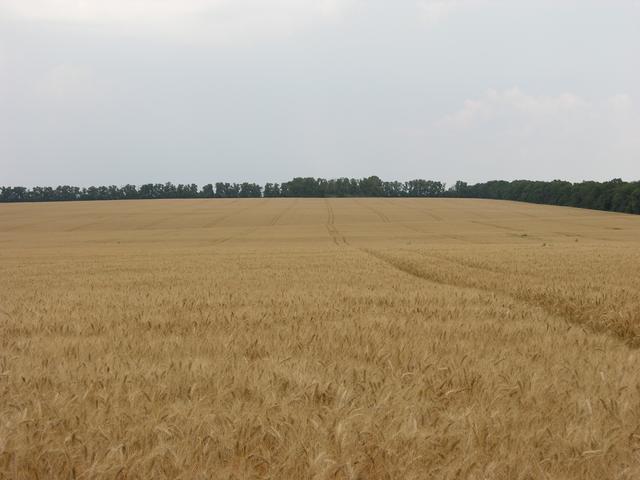 Семена пшеницы (озимой)