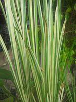 Аир болотный(акорус вариегатус)