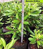 Rhododendron Nova Zembla (Нова Зембла) контейнер 5л, фото 5