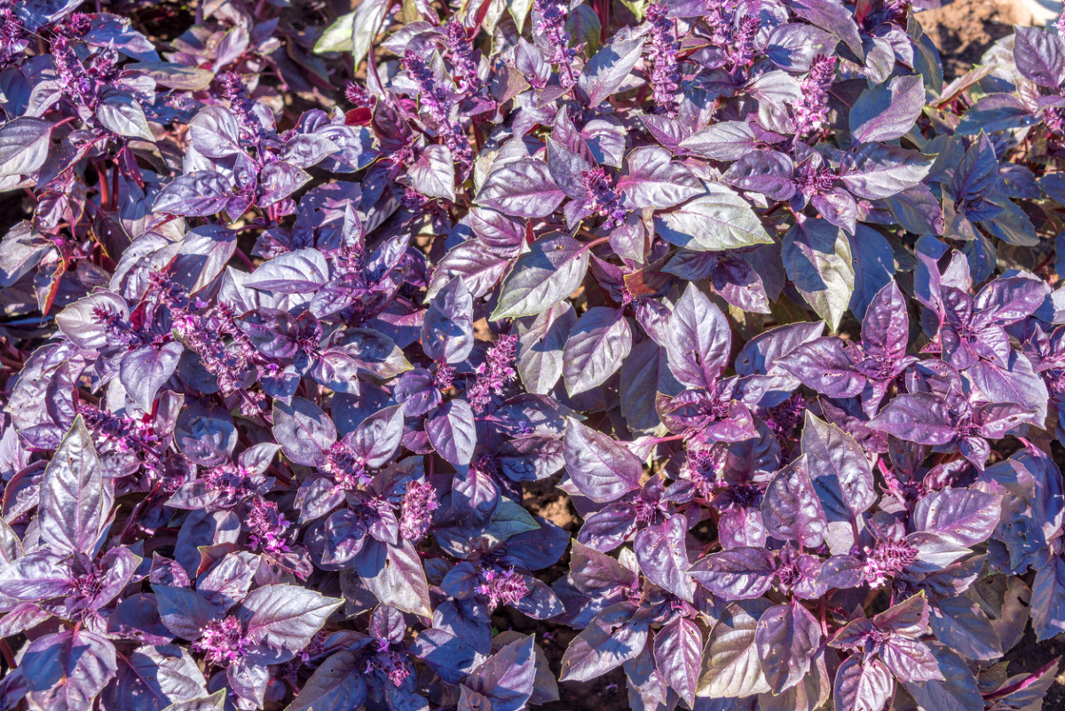 Базилик Фиолетовый РЕД РУБИН / RED RUBIN (банка 500 г) Hortus Италия