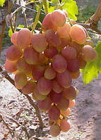 Саженцы винограда 'Ксения'