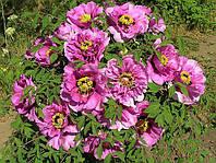 Пион древовидный Lilac (Сиреневый) Горшок Р-9