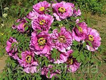 Пион древовидный Lilac (Сиреневый) 1г