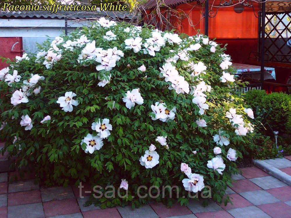 Півонія деревовидна White 3 роки