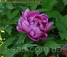 Пион древовидный Terry Pink (Махровый Розовый)
