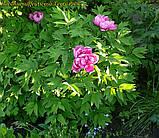 Пион древовидный Terry Pink (Махровый Розовый), фото 4