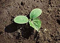 Выращивание рассады огурца