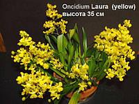 Подросток желтого онцидиума Лаура