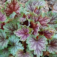 Гейхера Бьюти колор (Heuchera Beauty Colour)