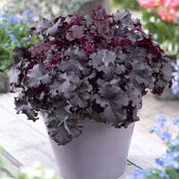 Гейхера Дарк Мистери (Heuchera Dark Mistery).