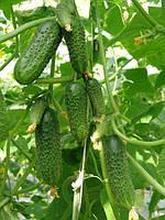 огірки в теплиці - правильний догляд і вирощування