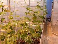 Выращивание огурца. Сорта огурца. Агротехника.