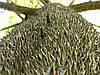 """Дерево """"ШЕЛКОВЫЕ НИТИ"""" или СЕЙБА ВЕЛИКОЛЕПНАЯ (Ceiba speciosa)"""